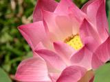 ピンク色のハス