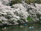 靖国神社・千鳥ケ淵の桜