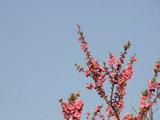中川やしおフラワーパークの桃