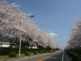つくば農林研究団地の桜