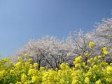 筑波農林研究団地の菜の花
