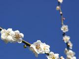 偕楽園のピンクの梅