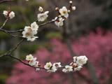 ピンクとしろの梅の花