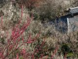 赤梅と瓦屋根