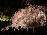 六義園のしだれ桜と集まる人々