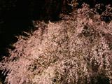 ピンク色のシダレザクラ