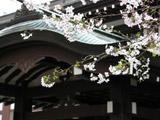 靖国神社とさくら1
