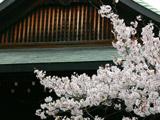 靖国神社と桜2