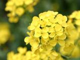 菜の花のアップ1