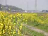 菜の花と農道