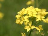 菜の花のアップ2