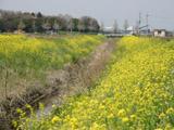 菜の花と水路1