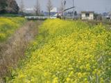 菜の花と水路2