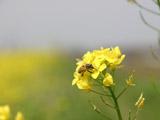 菜の花とハチ