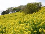 マザー牧場の斜面の菜の花畑
