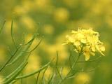 菜の花と菜種