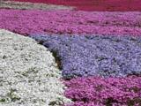 芝桜のじゅうたん