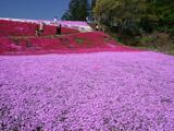 紫のシバザクラ