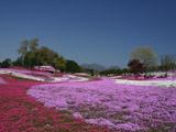 みさと芝桜公園3