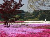 芝桜ズーム撮影
