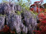 藤の花と躑躅