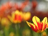 赤と黄のチューリップ