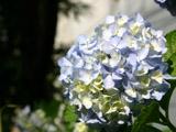 日に当たる紫陽花