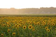 夕暮れのひまわり畑
