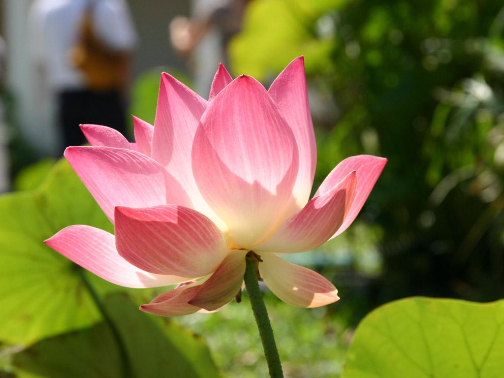 ピンク色のハスの花1