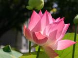 ピンク色のハスの花3