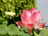 ピンク色のハスの花5