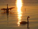 輝く湖面と鶴