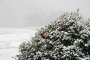 さざんかに積もる雪