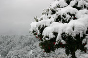 山茶花と雪