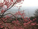 関東平野と梅
