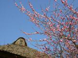 茅葺き屋根と梅