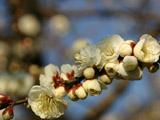 梅の花のアップ