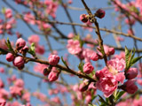 桃の木の枝