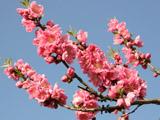 青空と桃の花