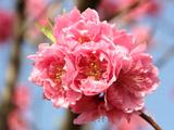 桃の花のアップ
