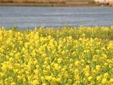 中川と菜の花