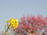 菜の花とぼかした桃の木