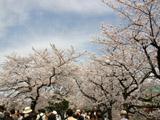 桜並木と人混み
