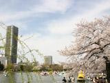 ボート池と桜