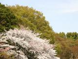 噴水近くにある桜と木