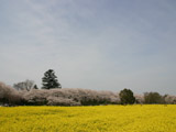 権現堂の桜堤と菜の花畑