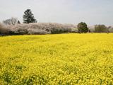 権現堂の菜の花畑