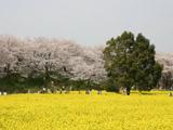 桜堤のアップ