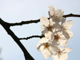 透過光の桜の花