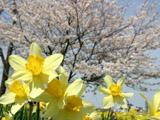 スイセンと桜